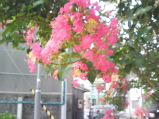 Crape-myrtle_Red