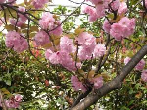 20140417八重桜